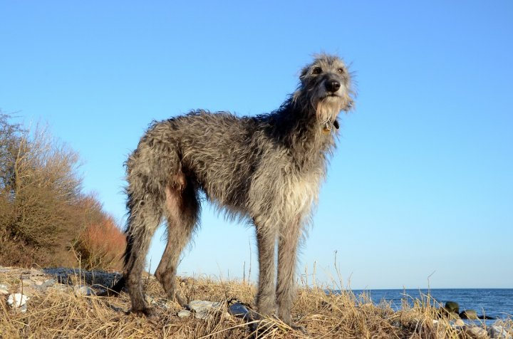 Deerhound - bild
