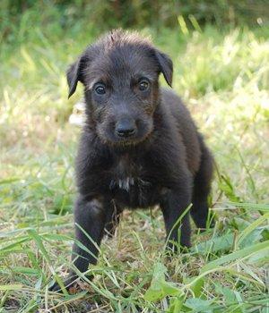 Deerhound Welpen