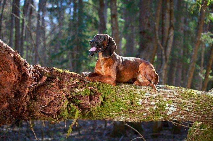 Bayerischer Gebirgsschweißhund - bild