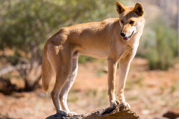 Dingo - bild