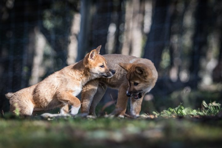 Dingo Welpen