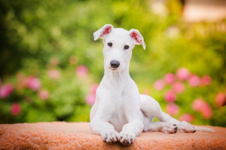 Greyhound Welpen