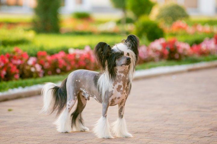Chinesischer Schopfhund - bild
