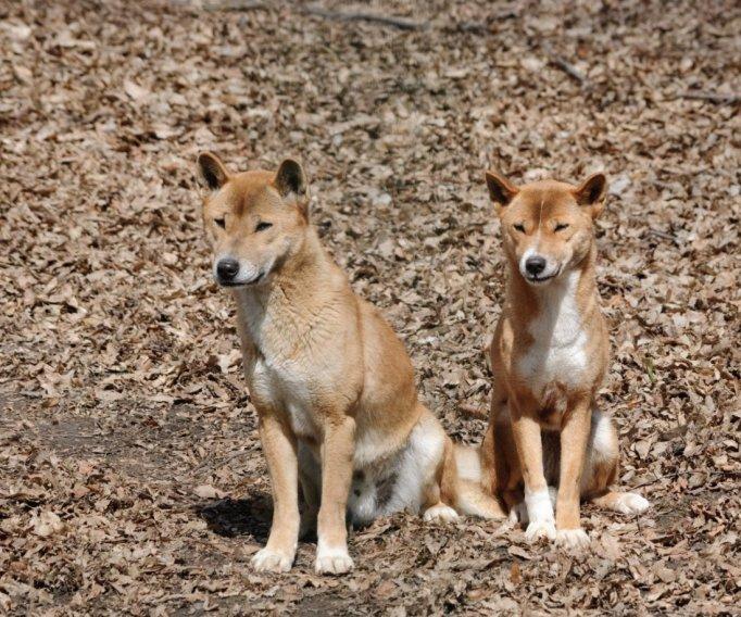 Neuguinea-Dingo - bild