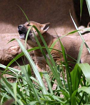 Neuguinea-Dingo Welpen