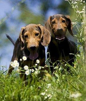 Serbischer Laufhund Welpen