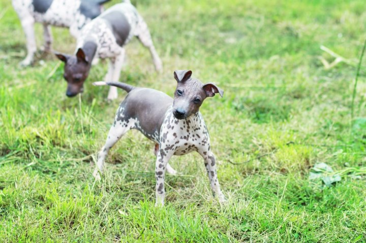 American Hairless Terrier - bild