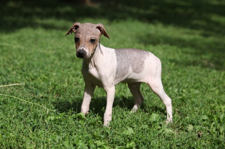 American Hairless Terrier Welpen