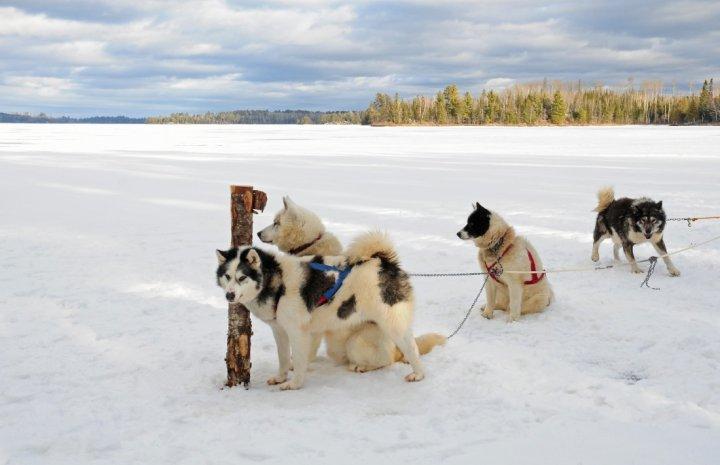 Kanadischer Eskimohund - bild