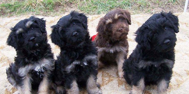 Cão da Serra de Aires Welpen