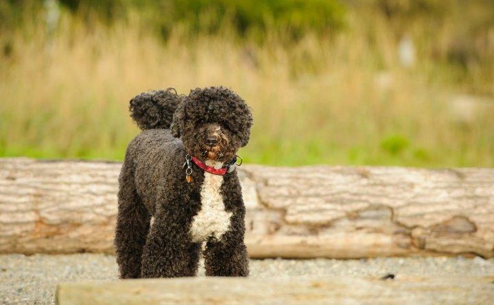 Cão de Água Português - bild
