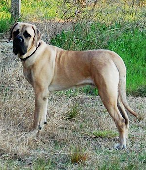 Mastiff - bild