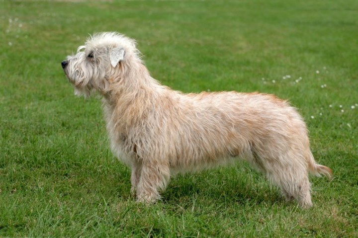 Irish Glen of Imaal Terrier - bild