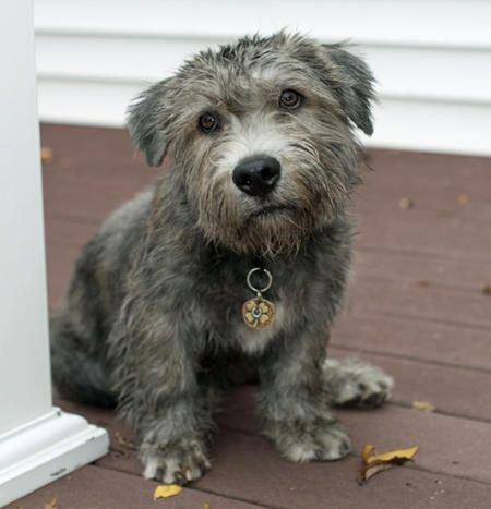 Irish Glen of Imaal Terrier Welpen