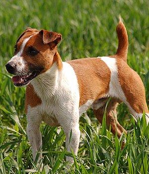 Plummer Terrier - bild