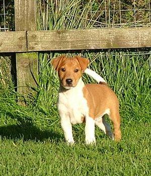 Plummer Terrier Welpen