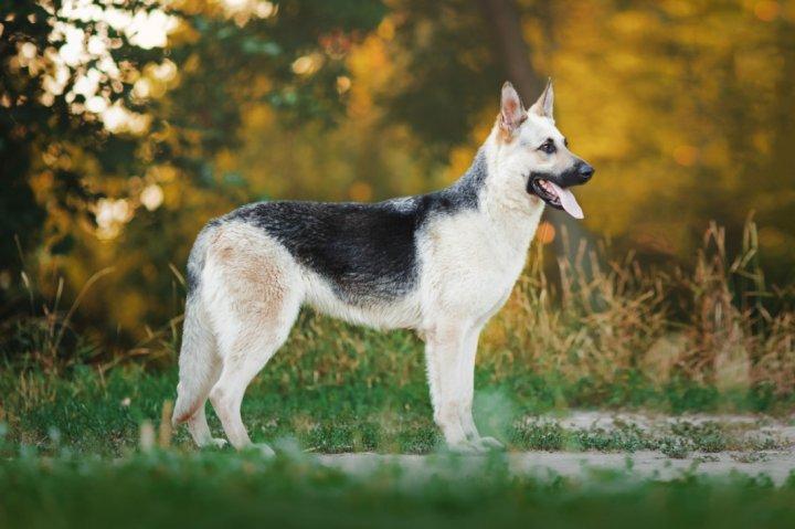 East-European Shepherd - bild