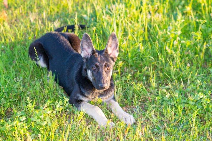 East-European Shepherd Welpen