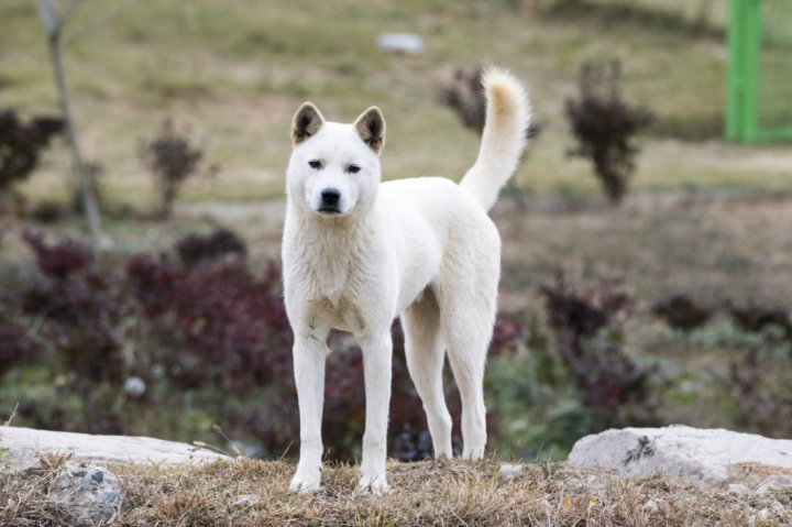 Korea Jindo Dog - bild