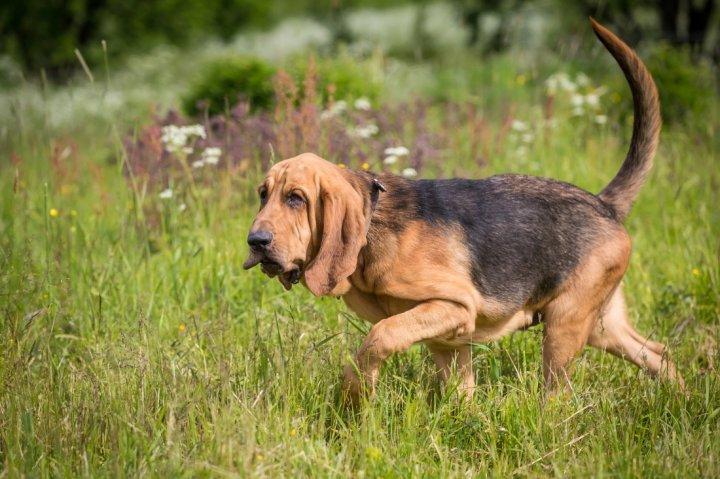 A Bloodhound To Die For Bloodhound - Hu...