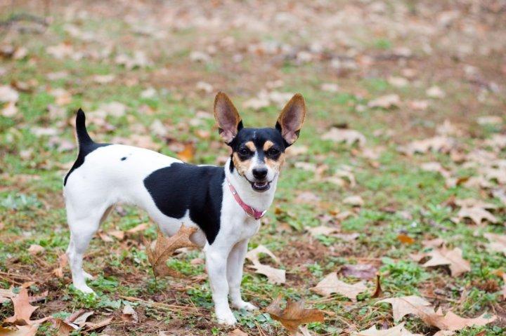 Rat Terrier - bild