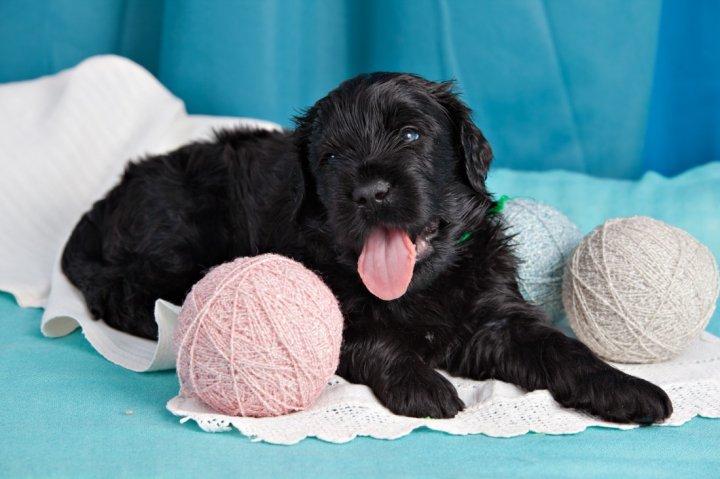 Russischer Schwarzer Terrier Welpen