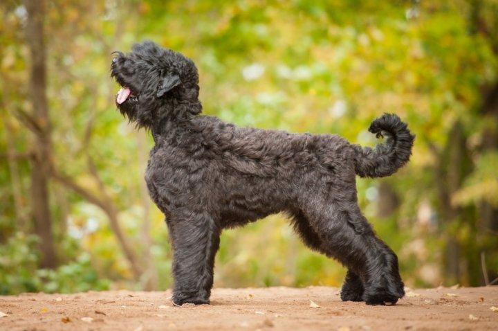 Russischer Schwarzer Terrier - bild