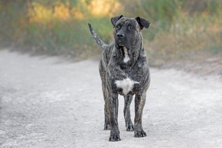 Dogo Canario - bild