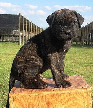 Dogo Canario Welpen