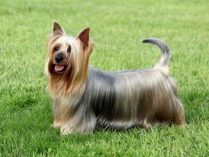 Australian Silky Terrier - bild