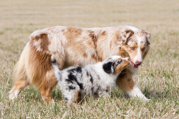Australian Shepherd Hunderasse Mit Bild Info Temperament
