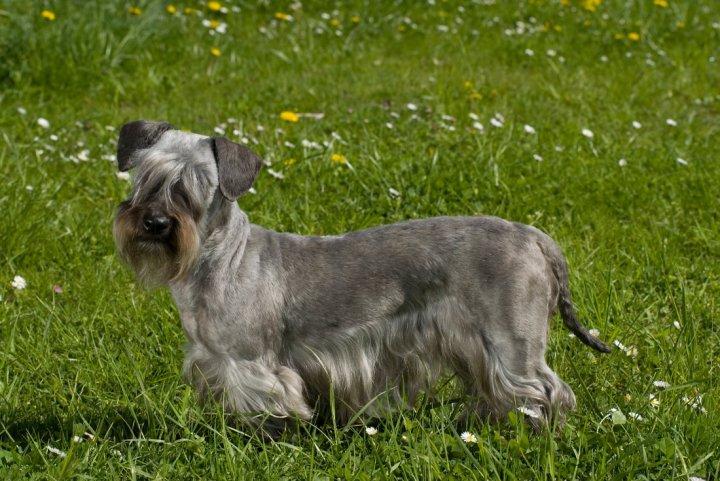 Tschechischer Terrier - bild