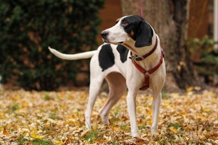 Treeing Walker Coonhound - bild