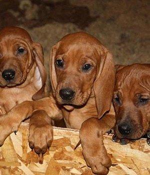 Redbone Coonhound Welpen