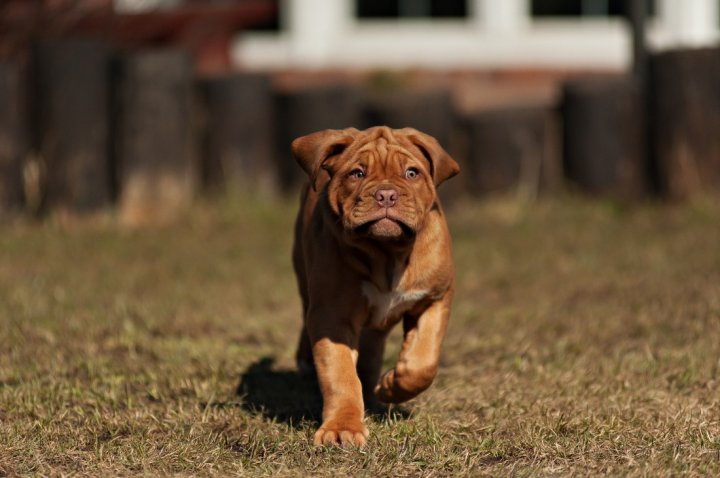 Dogue de Bordeaux Welpen