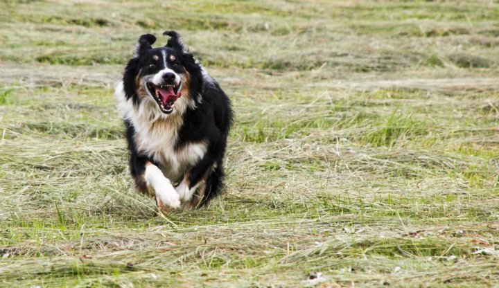 English Shepherd - bild