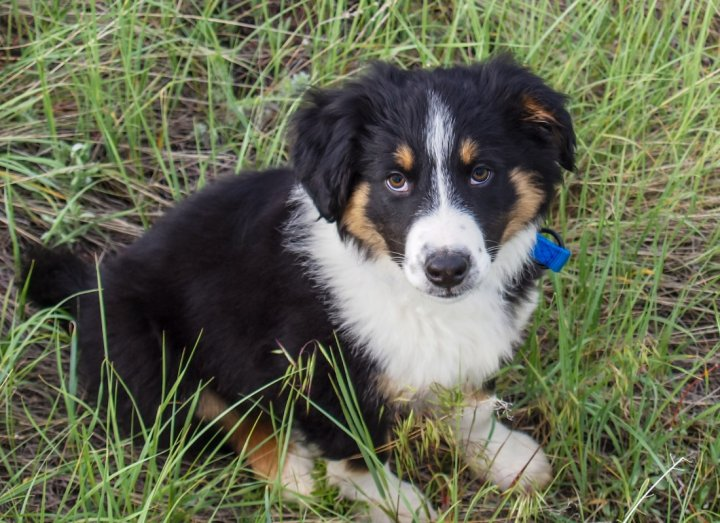 English Shepherd Welpen