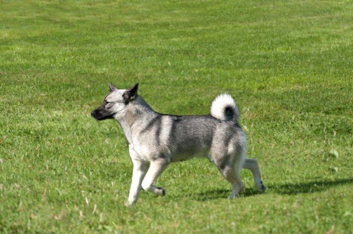 Norwegischer Buhund - bild