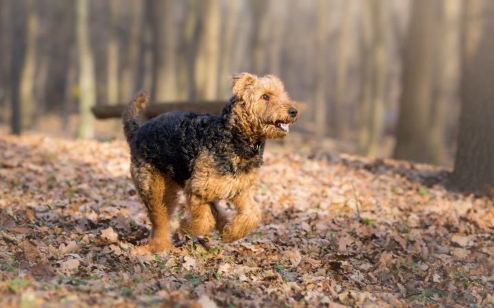Airedale Terrier - bild