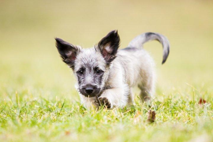 Scottish Terrier Welpen