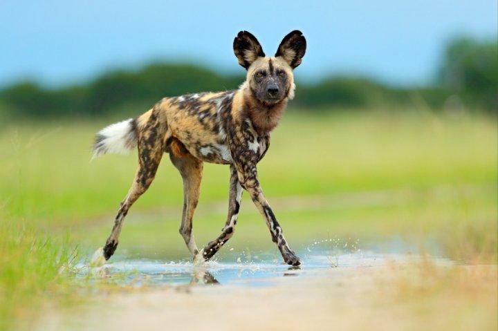Afrikanischer Wildhund - bild