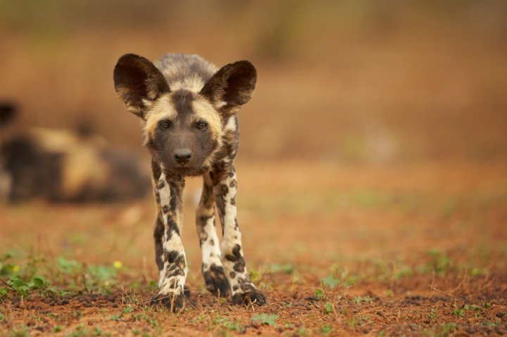 Afrikanischer Wildhund Welpen