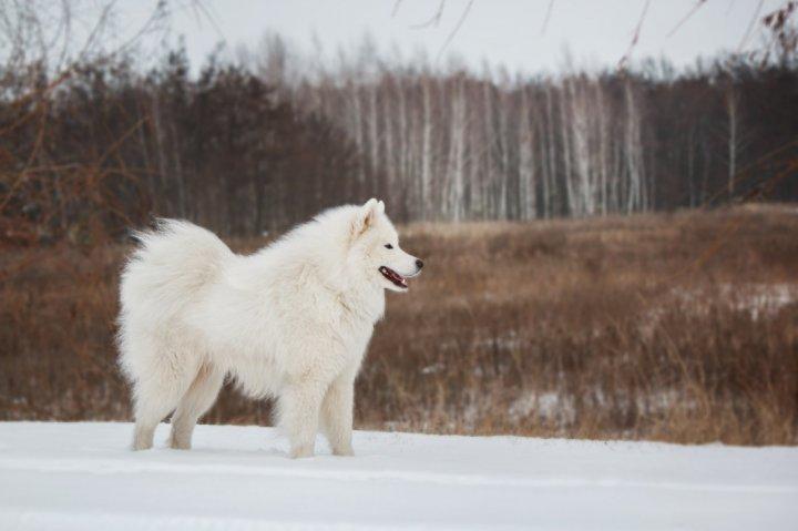 American Eskimo Dog - bild