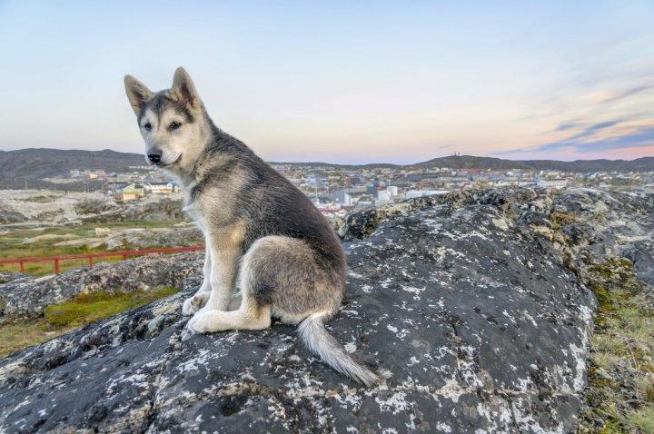 Northern Inuit Welpen