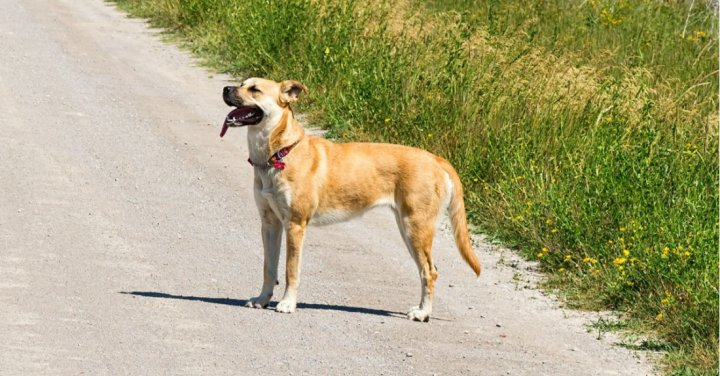 Black Mouth Cur - bild