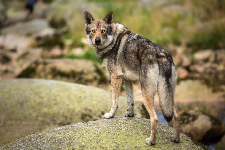 Saarlooswolfhund - bild