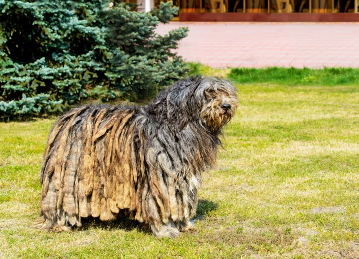 Bergamasker Hirtenhund - bild