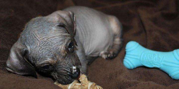 Peruanischer Nackthund Welpen