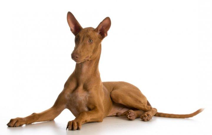 Pharaonenhund Welpen