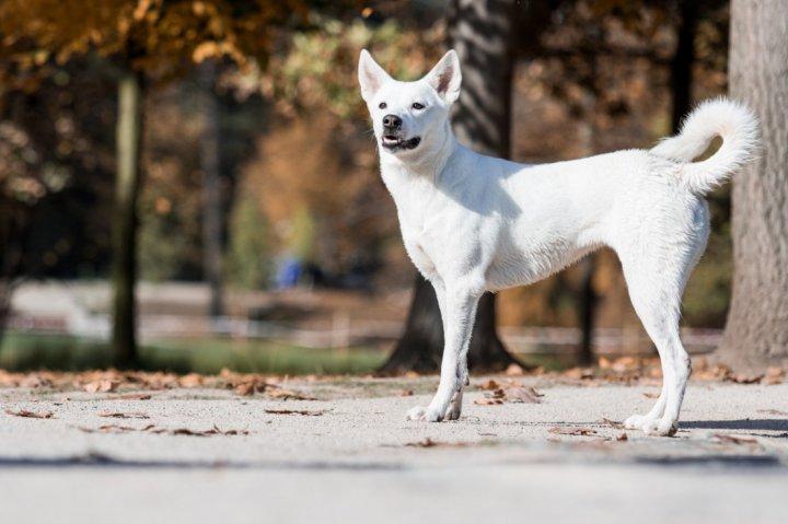 Canaan Dog - bild